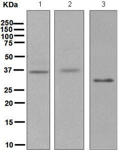 Western blot - Anti-Stanniocalcin 1 antibody [EPR6055] (ab124891)