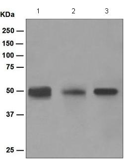 Western blot - Anti-TGF beta 1 + 2 antibody [EPR5443] (ab124894)