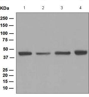 Western blot - Anti-Nudel antibody [EPR5068] (ab124895)