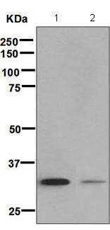 Western blot - Anti-MEMO1 antibody [EPR5791] (ab124901)