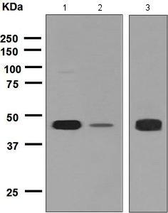 Western blot - Anti- AVPR1A   antibody [EPR5642] (ab124907)