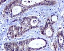 Immunohistochemistry (Formalin/PFA-fixed paraffin-embedded sections) - Anti-HINT1 antibody [EPR5108] (ab124912)