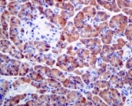Immunohistochemistry (Formalin/PFA-fixed paraffin-embedded sections) - Anti-Pancreatic Lipase antibody [EPR6276] (ab124915)