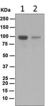 Western blot - Anti-BACH1.3 antibody [EP2189(2)] (ab124919)