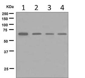Western blot - Anti-Munc18 antibody [EPR4850] (ab124920)