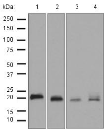 Western blot - Anti-RAC3 antibody [EPR6679(B)] (ab124943)