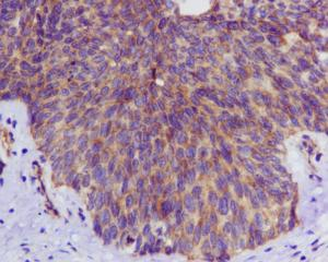 Immunohistochemistry (Formalin/PFA-fixed paraffin-embedded sections) - Anti-ULK3 antibody [EPR4888] (ab124947)
