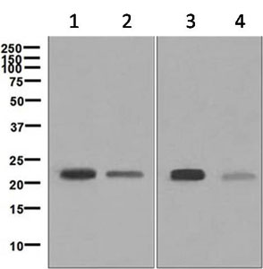Western blot - Anti-RAP1A G12V antibody [EP878] (ab124963)
