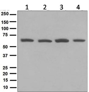 Western blot - Anti-PCYOX1 antibody [EPR5611] (ab124966)