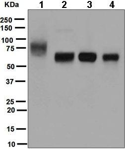 Western blot - Anti-ICOS Ligand antibody [EPR6071] (ab124972)