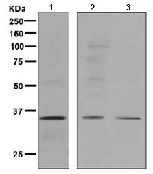 Western blot - Anti-TATA binding protein TBP antibody [EPR3826(2)] - Nuclear Loading Control (ab125009)