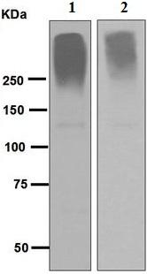 Western blot - Anti-Neurocan antibody [EPR6397] (ab125021)