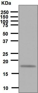Western blot - Anti-IL7 antibody [EPR6266] (ab125029)