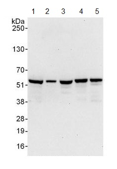 Western blot - Anti-C14orf133 antibody (ab125084)