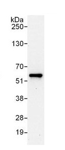 Immunoprecipitation - Anti-C14orf133 antibody (ab125084)