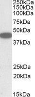 Western blot - Anti-Bonzo antibody (ab125115)