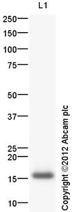 Western blot - Anti-IL2 antibody (ab125161)