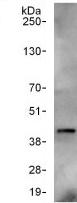 Immunoprecipitation - Anti-ARA9 antibody (ab125163)
