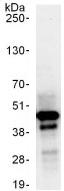 Immunoprecipitation - Anti-USF2 antibody (ab125184)