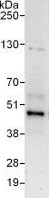 Immunoprecipitation - Anti-SHARPIN antibody (ab125188)