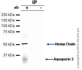 Immunoprecipitation - Anti-Aquaporin 3 antibody (ab125219)