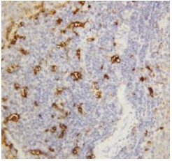 Immunohistochemistry (Formalin/PFA-fixed paraffin-embedded sections) - Anti-Salivary alpha amylase antibody (ab125230)