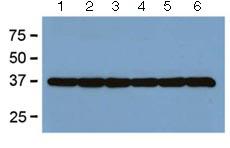 Western blot - Anti-GAPDH antibody [GA1R] (ab125247)
