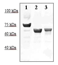 Western blot - Anti-PCSK9 antibody (ab125251)