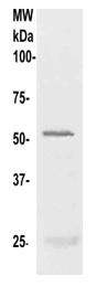 Western blot - Anti-Nucleobindin 2 antibody (ab125260)