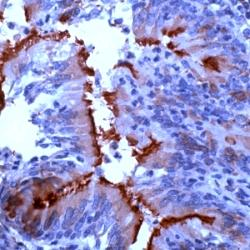 Immunohistochemistry (Formalin/PFA-fixed paraffin-embedded sections) - Anti-alpha Tubulin antibody (ab125267)