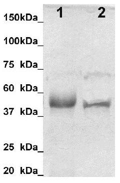 Western blot - Anti-Calumenin antibody (ab125273)