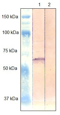 Western blot - Anti-PAK4 antibody (ab125274)