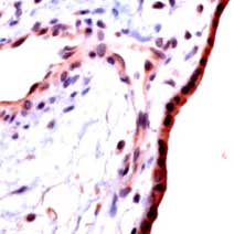Immunohistochemistry (Formalin/PFA-fixed paraffin-embedded sections) - Anti-TGF beta 1 antibody (ab125287)