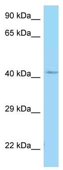 Western blot - Anti-GALR1 antibody (ab125367)