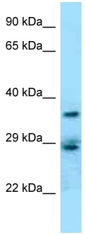 Western blot - Anti-CD68 antibody (ab125475)
