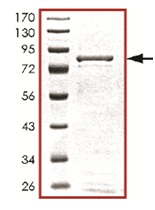SDS-PAGE - STK38L protein (Active) (ab125530)