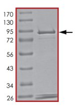 SDS-PAGE - PDE3A protein (Tagged) (ab125545)