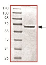 SDS-PAGE - PCTAIRE1 protein (Tagged) (ab125552)