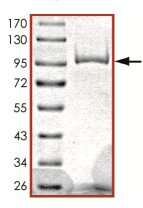 SDS-PAGE - PDE1C protein (Active) (ab125567)