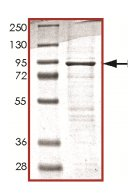 SDS-PAGE - PI 3 Kinase p85 beta protein (His tag) (ab125568)