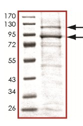 SDS-PAGE - PI3 Kinase p110 beta protein (Active) (ab125571)