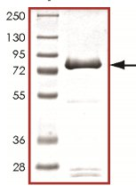 SDS-PAGE - PIP5K2 alpha protein (Active) (ab125572)