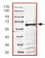 SDS-PAGE - SIRT6 protein (Tagged) (ab125578)