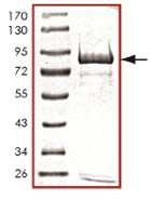 SDS-PAGE - OXSR1 protein (Tagged) (ab125579)
