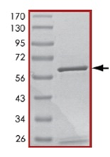 SDS-PAGE - PDE5A protein (Active) (ab125581)