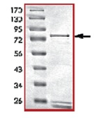 SDS-PAGE - PDE4B protein (Active) (ab125582)