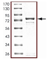 SDS-PAGE - STK25 protein (Active) (ab125588)