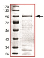 SDS-PAGE - Cdc7 Kinase protein (Tagged) (ab125594)