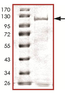 SDS-PAGE - Wee1 protein (Tagged) (ab125596)