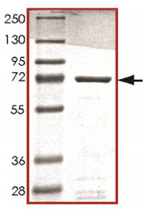 SDS-PAGE - STK32C protein (Active) (ab125598)